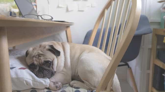 do Pugs have sensitive stomachs