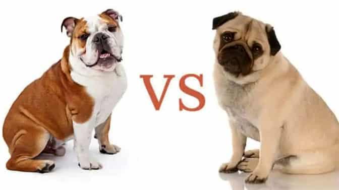 English Bulldog vs Pug