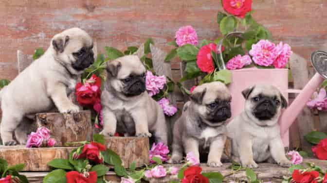 flower names for Pugs