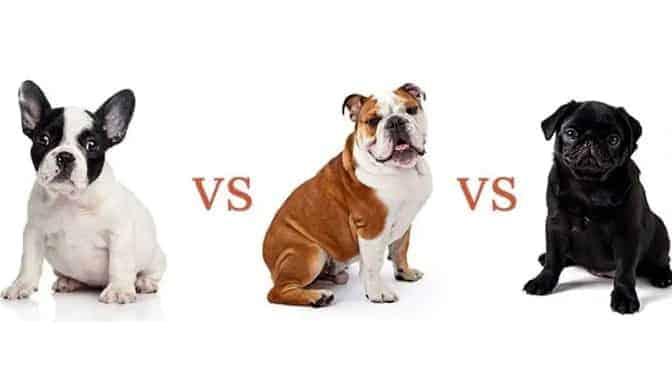 French Bulldog vs English Bulldog vs Pug