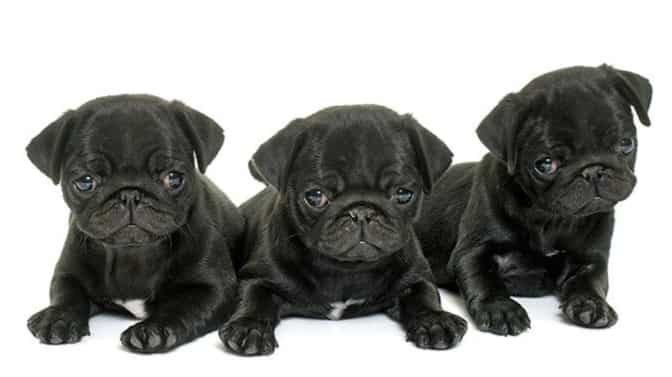 funny names for Pugs