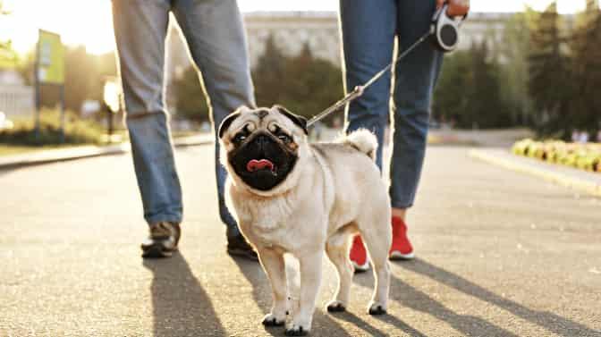 how far can Pugs walk