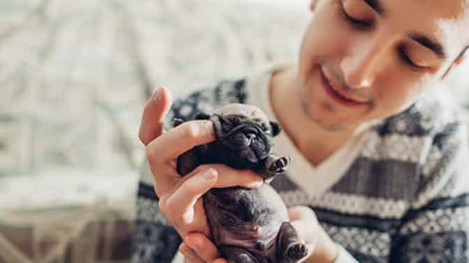 how much does a Pug puppy weigh