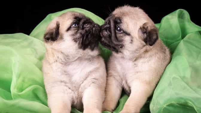 nicknames for Pugs