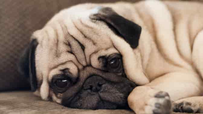what do Pugs usually die from