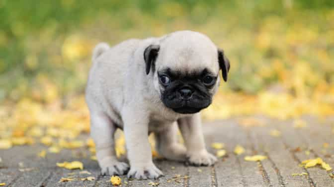 can Pugs be potty trained