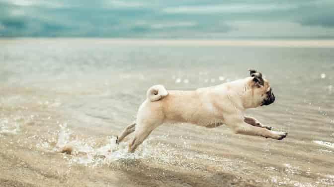 can Pugs go to the beach