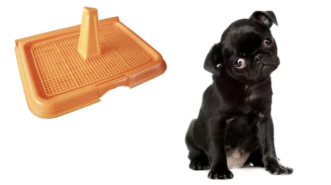 can you train a Pug to use a litter box