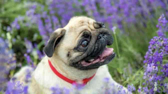 do Pugs have respiratory problems