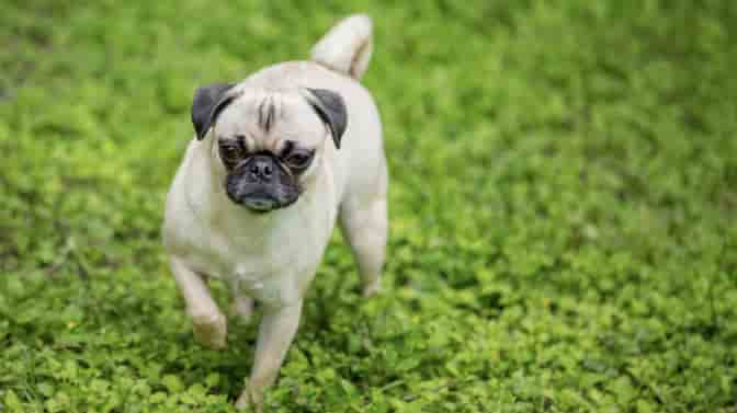 how to get a Pug to gain weight