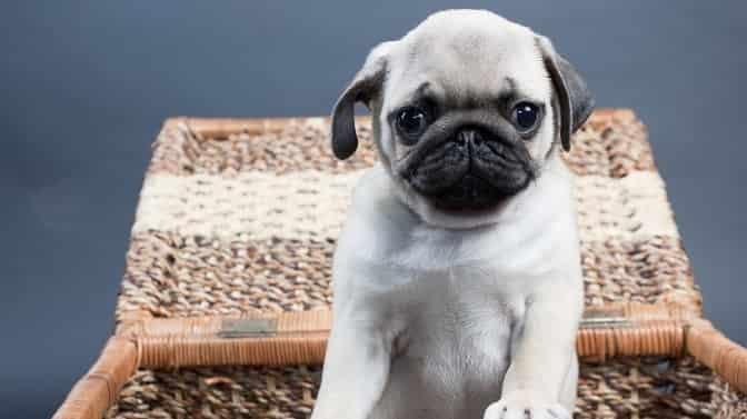 can you buy potty trained Pug puppies