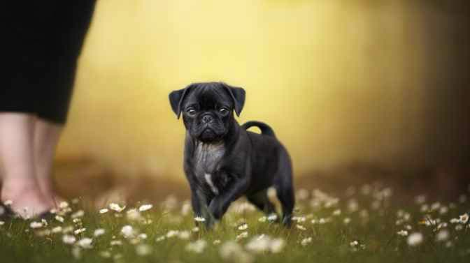 how much does it cost to get a Pug potty trained