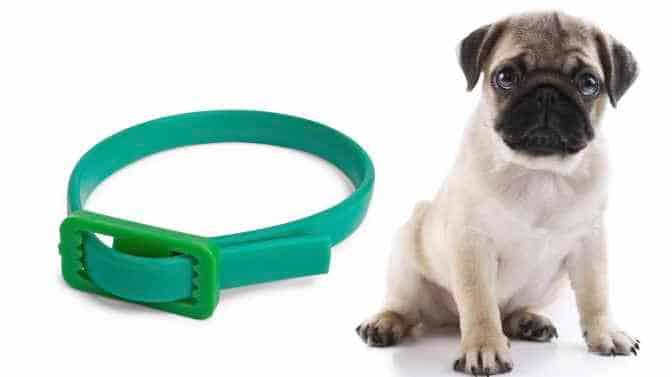 can Pugs wear flea collars